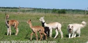 alpaca crias