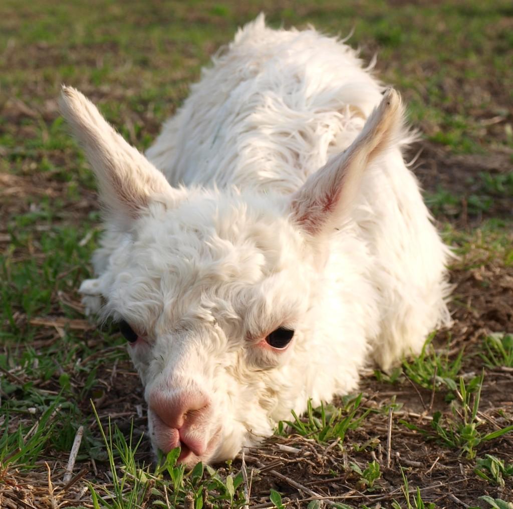 Cute Cria Nibbling on Grass
