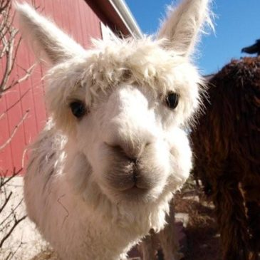 Alpaca Breeding Herd Selection Tips