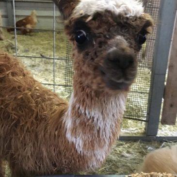 Alpaca Baby Milano!