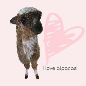 suri alpacas