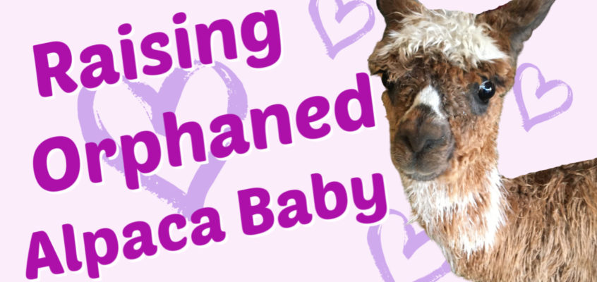 Raising an Alpaca Baby Orphan Video Part 1