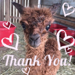 Baby Alpaca Thank you image
