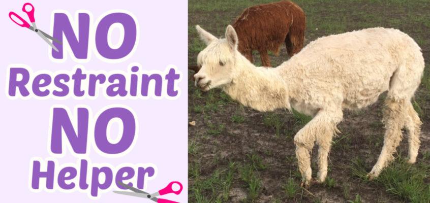 Alpaca Shearing by Hand: Whole Body Demo