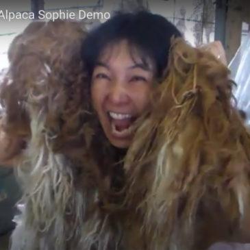 Hand Shearing Sweet Suri Alpaca Sophie