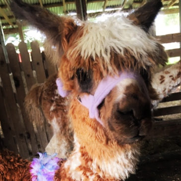 Halter Training Alpaca Babies: Step-by Step Training Videos