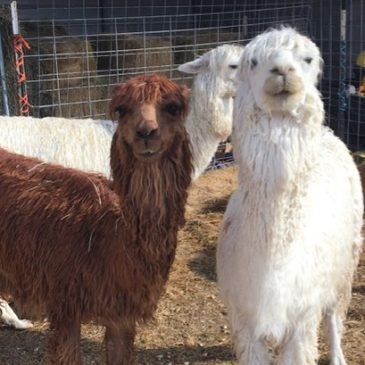 Alpaca Breeding and Spit Testing