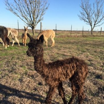 Alpaca Baby Care Basics