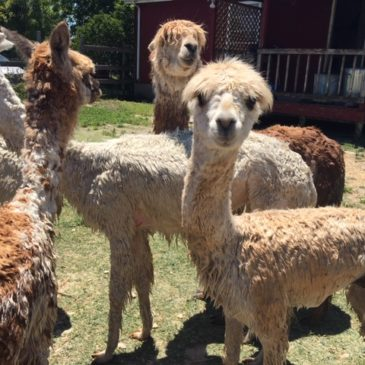 Alpaca Care Must Have Items
