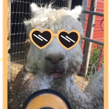 Alpaca Heat Stress Prevention Tips