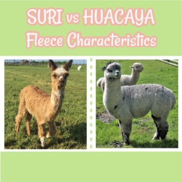 Suri vs Huacaya Fleece Characteristics