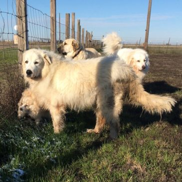Livestock Guardian Dogs for Our Alpaca Farm