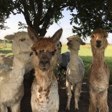Alpacas are Eco-Friendly!